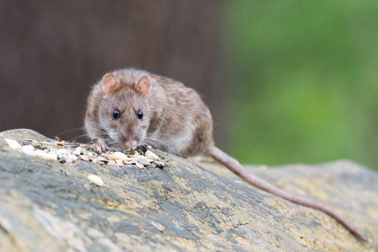 produits anti-rat